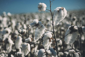 Why Organic Cotton? A Scary Fact Might Just Answer That Question