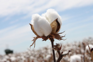 The Disappearance of Cotton from US Wardrobes